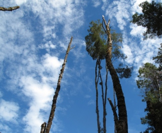 Tasmanian trees touch the sky